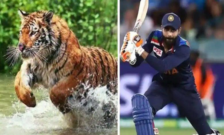 Ravindra Jadeja tiger